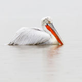 Dalmatian Pelican in the rain