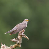 Cuckoo on a branch