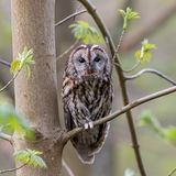 Tawny owl in the Spring
