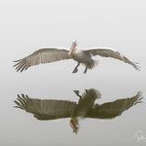 Dalmatian Pelican landing