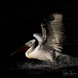 Pelican in the dark