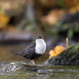 White-throated dipper in autumn colors