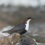 White-throated dipper with food