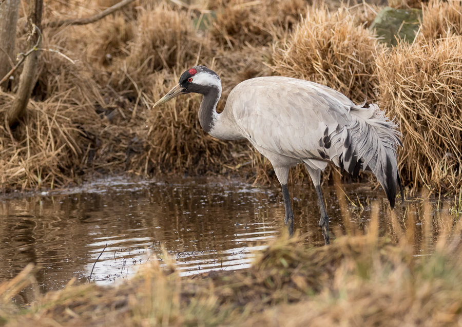 I Hope This Crane Is Just Hiding Other >> Lake Hornborga Sweden Steen Torner Wildlife Photography