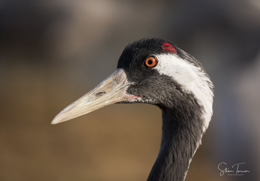Common crane portrait