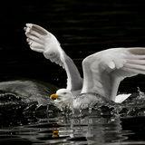 Herring gull landing