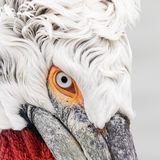 Dalmatian pelican closeup