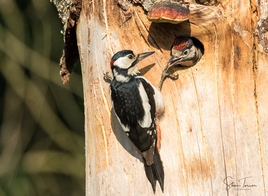 Great spotted woodpecker with chick