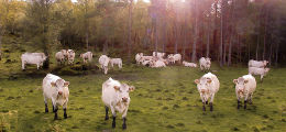 170. White Cattle