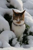 """Tabby"" cat in Snow"