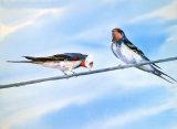 Swallows Nesting 30x45cm