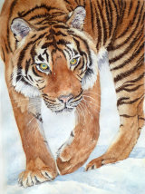 Tiger in the Snow 65x45cm