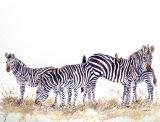 A Dazzle of Crawshays Zebras 60x45cm