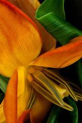 balleria tulipa