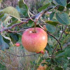 Apple in our orchard
