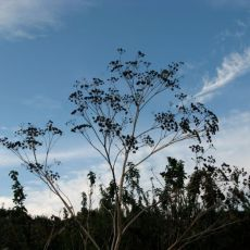 Fennel and cirrus