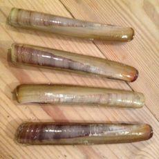 Razor-clams