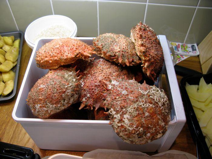 Spider crabs
