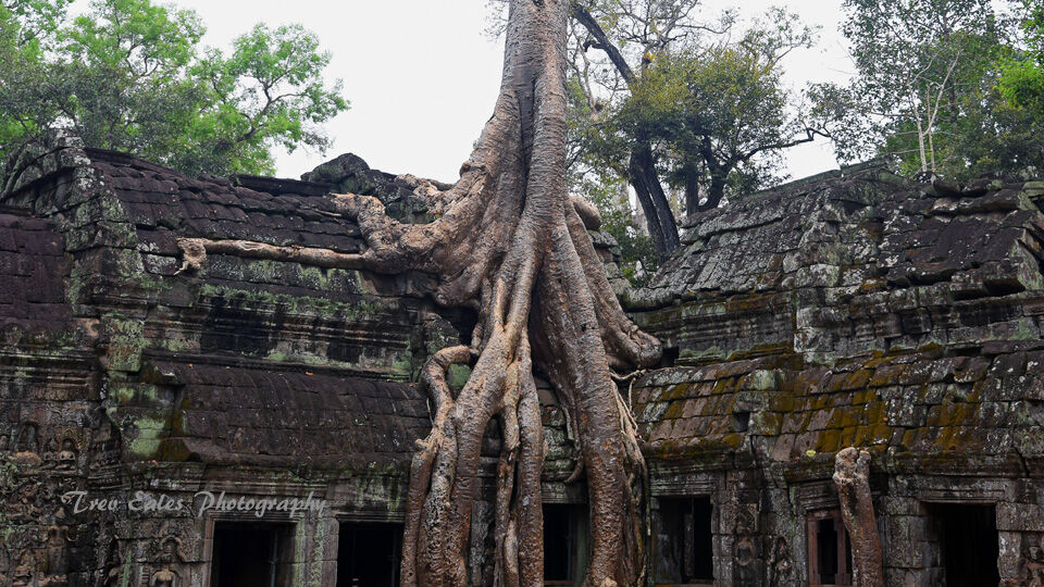Strangler Fig at Ta Prohm