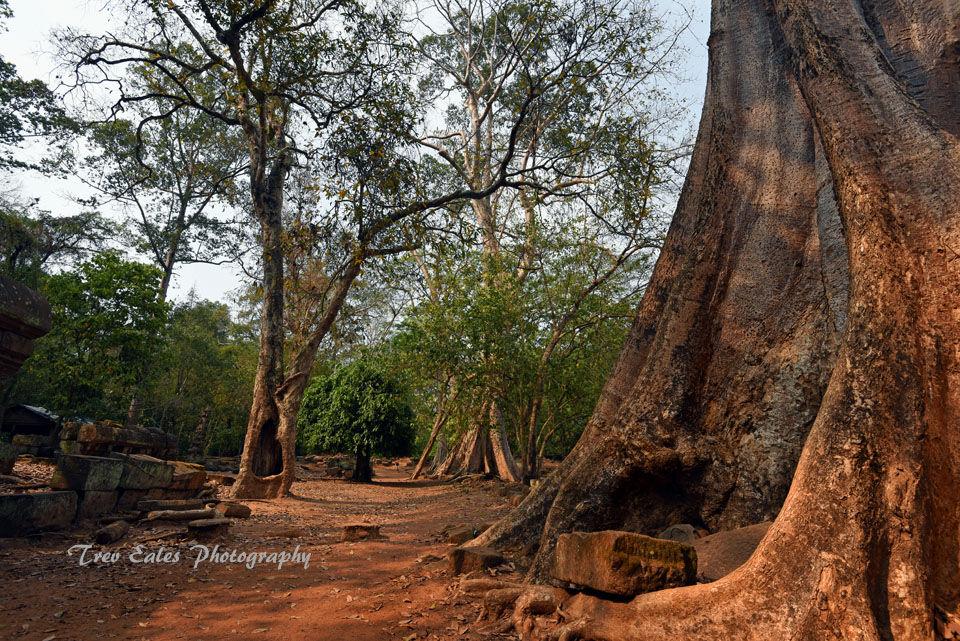 Strangler Fig at Angkor Thom