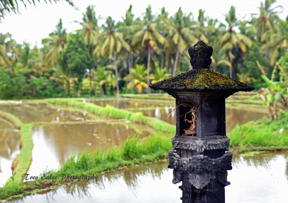 A place for offerings: Rice fields, Ubud.
