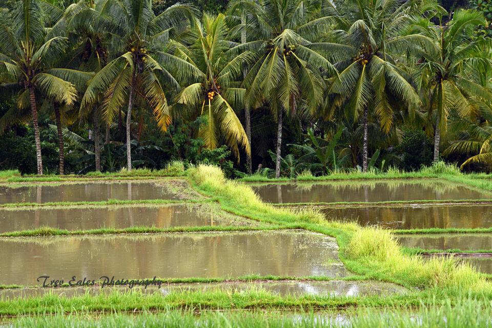 Rice fields, Ubud.