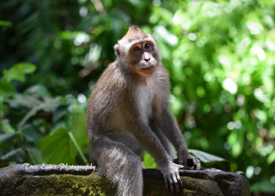 Balanise Macaca: Sacred Monkey Forest sanctuary, Ubud.