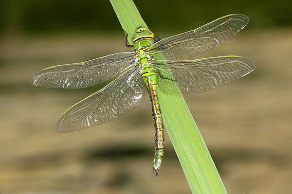 emperor dragonfly resting