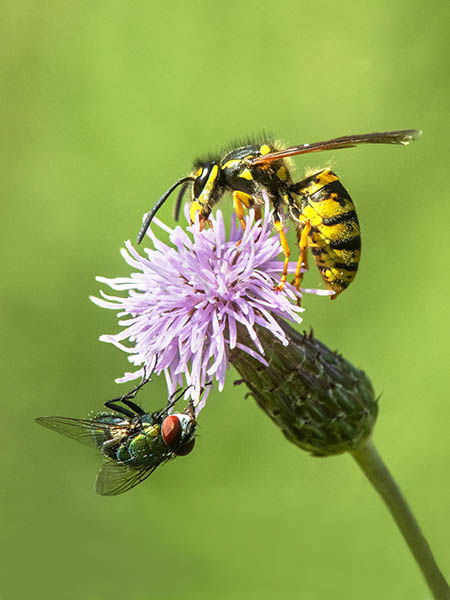 common wasp and green bottle on thistle