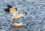avocets paired