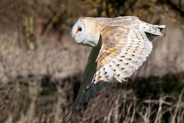 barn owl image 1