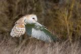 barn owl image 2