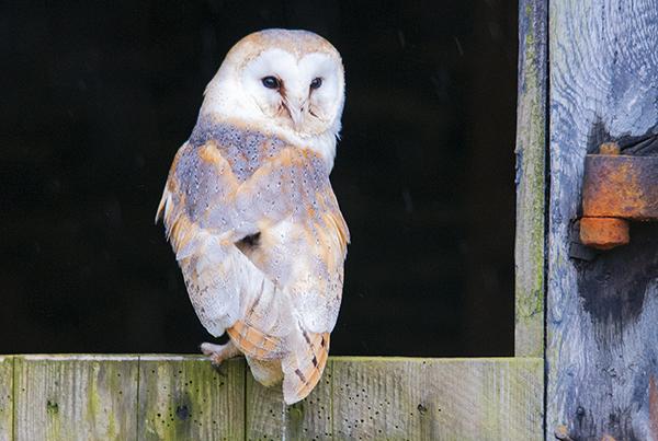barn owl image 3