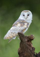 barn owl image 4