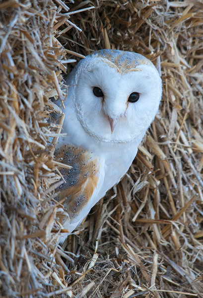barn owl image 5