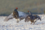 black grouse image 1