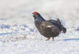 black grouse image 2