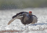 black grouse image 6