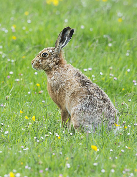 brown hare image 1