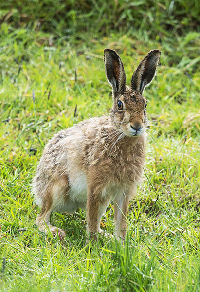 brown hare image 3