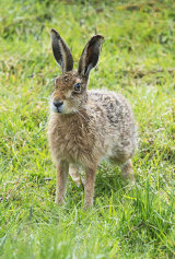 brown hare image 4