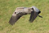 common crane 11