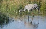common crane 8
