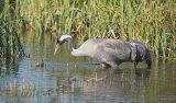 common crane 9
