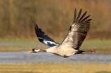 common crane image 1