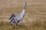 common crane image 2