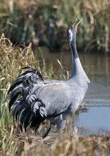 common crane image 3