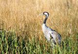 common crane image 6