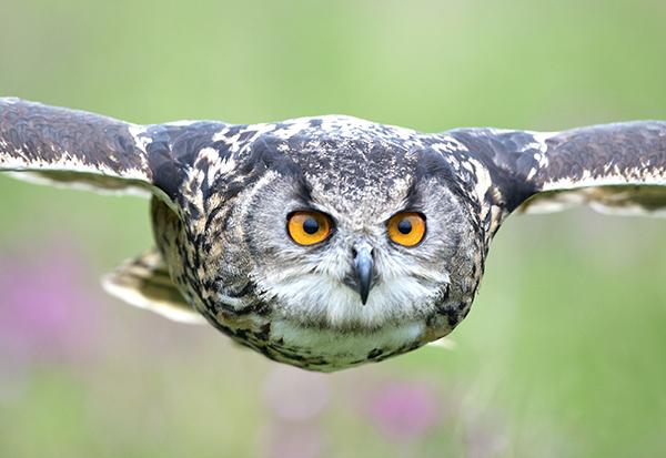 eagle owl image 1
