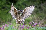 eagle owl image 2